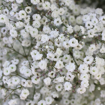 New Love Baby's Breath Flower