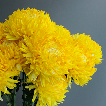 Yellow Limoncello Tinted Football Mums