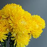 Lavender Football Mum Flower