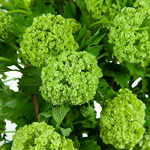 Wedding greenery green viburnum flower fillers sold near me