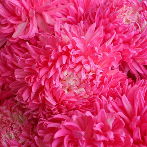 Cotton Candy Pink Football Mum Tinted