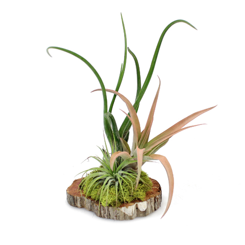 Tillandsia Woodland Wedding Centerpiece