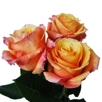 Milva Creamy Orange Rose