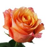 Orange Rose Milva