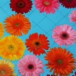 Bulk Red Gerber Flower