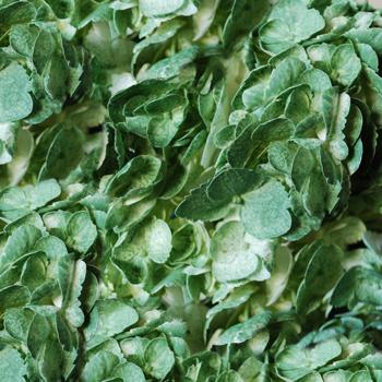 Hydrangea Mossy Green Airbrushed