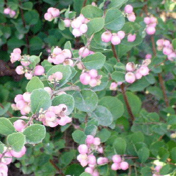 Pink Snowberry Fresh Autumn Greens
