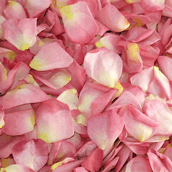 Dried Rose Petals for Weddings