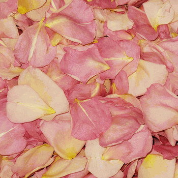 Bicolor Pink and Cream Dried Rose Petals