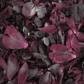Dark Eggplant Peony Petals