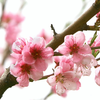 Blooming Pink Peach Blossom Branches