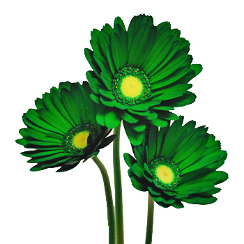 Green Airbrushed Gerber Daisy Flowers