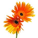 Orange Gerber Bulk Flower