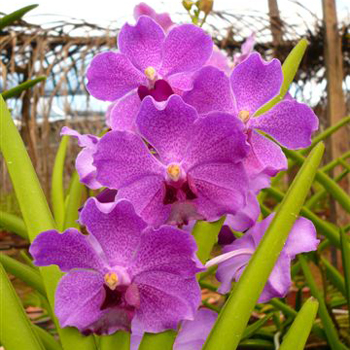 Vanda Orchids Bright Violet Purple