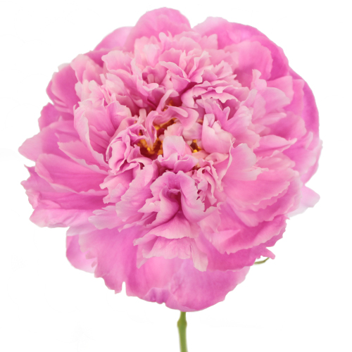 Alex Flemming Peonies for April