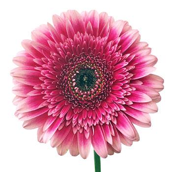 Blended Pink Gerbera Flower