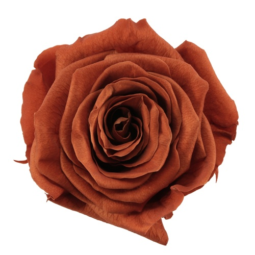 Preserved Terracotta Rose