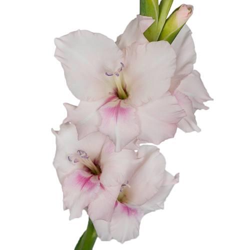 Gladiolus Light Pink Flower
