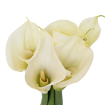 Ivory White Calla Lily Flower