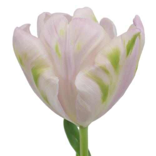 Preppy Pink Parrot Tulip Flower