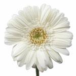 Airelle Bone White Mini Gerbera Daisy Flower