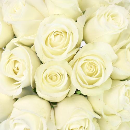 White Akito Sweetheart Roses