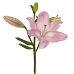 Blush White Lily Flower