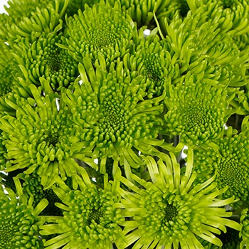 Avocado Green Novelty Chrysanthemum