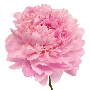 Alex Fleming Peony Flower December Delivery Fiftyflowers C