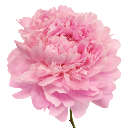 Alex Flemming Peony Flower January Delivery