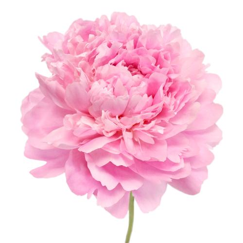 Medium Pink Peonies for July