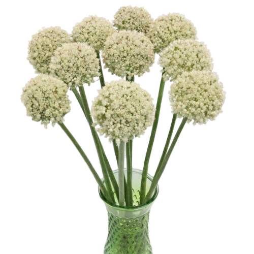 Snowball Allium