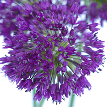 Allium Grape Purple Flower