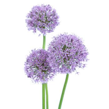 Lavender Allium
