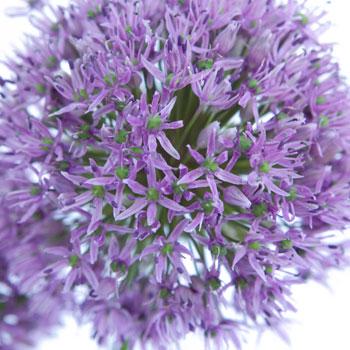 Allium Lilac Lavender Flower