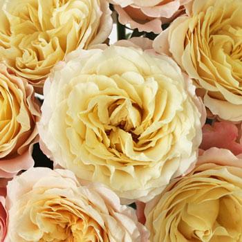 Champagne Garden Rose