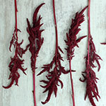 Fresh Greens Red Upright Amaranthus