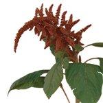 Bronze Upright Amaranthus Fresh Fall Greens