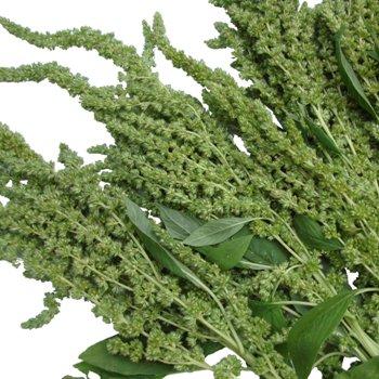 Green Upright Amaranthus Bulk Fall Greens