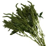 Wholesale Greens Green Amaranthus Upright