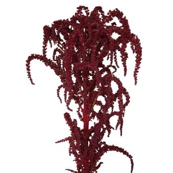 Red Upright Amaranthus Fresh Autumn Greens