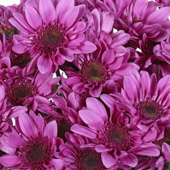 Beauty Queen Daisy Flower