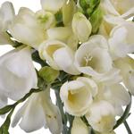 Bulk White Freesia Flower