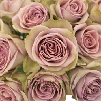 Amnesia Lavender Novelty Rose