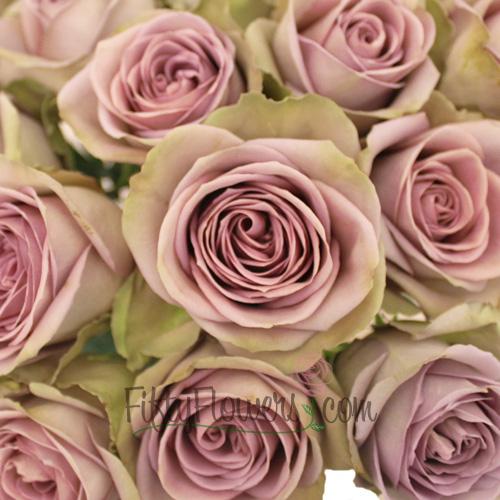 Amnesia Dusty Lavender Rose Close up