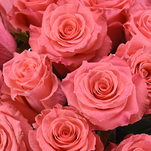 Amsterdam Hot Coral Pink Rose