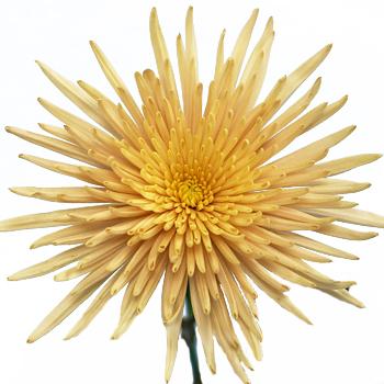 Spider Mum Bronze Flower