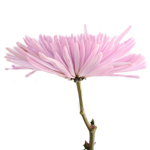 Lavender Anastasia Bulk Flowers