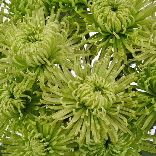 Anastasia Spider Green Flowers