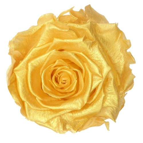 Preserved Andean Gold Rose